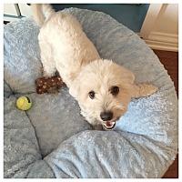 Adopt A Pet :: Louie - West LA, CA