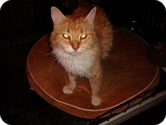 Domestic Longhair Cat for adoption in Saint Albans, West Virginia - Hazel