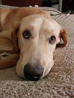 Labrador Retriever/Golden Retriever Mix Dog for adoption in Decatur, Georgia - Tater *SEEKING DOG-SAVVY TYPES