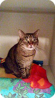 Domestic Shorthair Cat for adoption in Hamilton, New Jersey - TIGGER