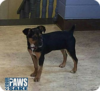 Miniature Pinscher Mix Puppy for adoption in Maryville, Illinois - Annie