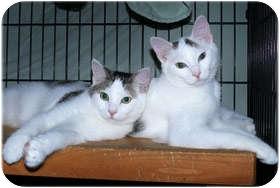 Domestic Shorthair Kitten for adoption in Milford, Massachusetts - Day & Dream