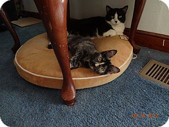 Domestic Shorthair Kitten for adoption in Saint Albans, West Virginia - Madie