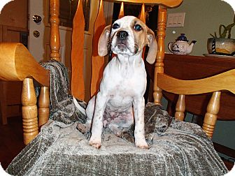 Boxer/German Shorthaired Pointer Mix Puppy for adoption in Bedford, Virginia - Bella