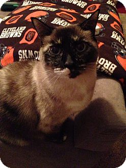 Siamese Cat for adoption in Fairborn, Ohio - Sasha-Courtesy Post