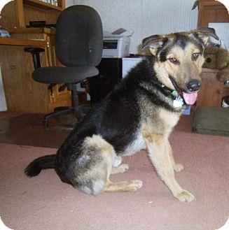 German Shepherd Dog/Airedale Terrier Mix Dog for adoption in Denver, Colorado - Barron