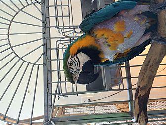 Macaw for adoption in Punta Gorda, Florida - Magoo