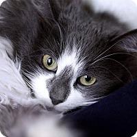 Adopt A Pet :: Gina Lollobrigida - Chicago, IL