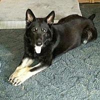 German Shepherd Dog Dog for adoption in Morrisville, North Carolina - Jake