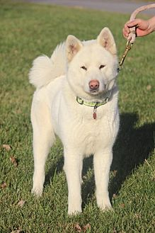 Akita Dog for adoption in Silver Spring, Maryland - Snowbelle