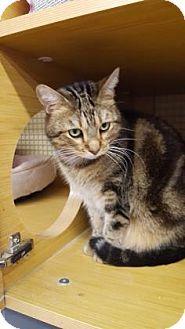 Bengal Cat for adoption in Tucson, Arizona - Twinkie