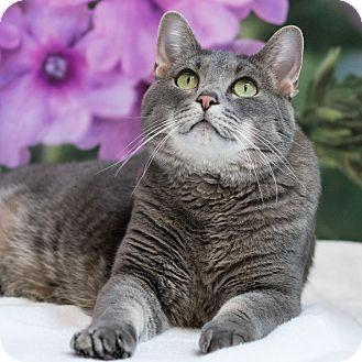 Domestic Shorthair Cat for adoption in Houston, Texas - BA Baracus