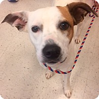 Adopt A Pet :: Bella 1 in CT - Manchester, CT