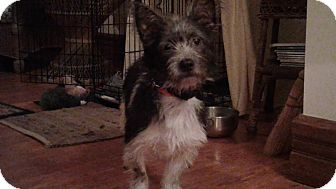 Schnauzer (Standard)/Terrier (Unknown Type, Small) Mix Dog for adoption in Cincinnati, Ohio - Delta