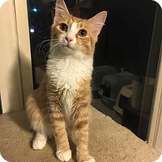 Domestic Shorthair Kitten for adoption in Burlington, North Carolina - Carmela