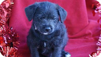 Cockapoo Mix Puppy for adoption in Torrance, California - MICHAEL