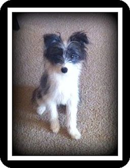 Chinese Crested/Terrier (Unknown Type, Small) Mix Puppy for adoption in Indian Trail, North Carolina - Ella