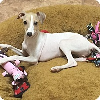 Adopt A Pet :: Piccolo-Austin/Harker Heights - Argyle, TX