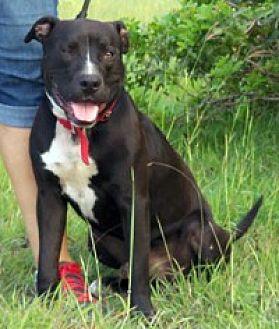 Pit Bull Terrier Mix Dog for adoption in Corpus Christi, Texas - Simba