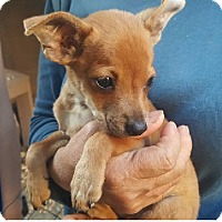 Chihuahua/Dachshund Mix Puppy for adoption in Burbank, California - Franklin