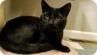 Domestic Shorthair Cat for adoption in Reisterstown, Maryland - Binx