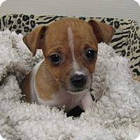 Adopt A Pet :: Zsa Zsa - Groton, MA