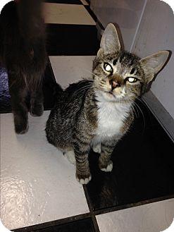 Domestic Shorthair Kitten for adoption in Port Charlotte, Florida - Cassie