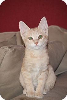 Domestic Shorthair Kitten for adoption in San Antonio, Texas - Carlos