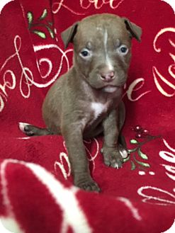 American Staffordshire Terrier/American Pit Bull Terrier Mix Puppy for adoption in San Diego, California - Princess Leia