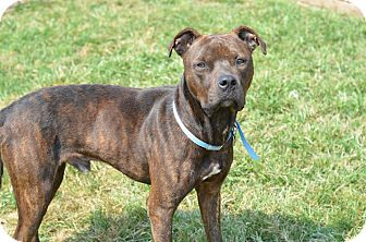 Pit Bull Terrier Mix Dog for adoption in Woodstown, New Jersey - Marqui