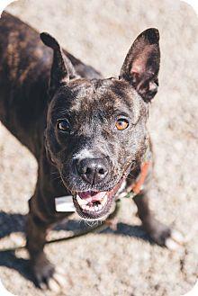 Terrier (Unknown Type, Medium)/Plott Hound Mix Dog for adoption in Cleveland, Ohio - Charm