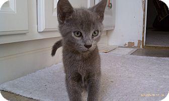 Domestic Shorthair Kitten for adoption in Morgan Hill, California - Princess