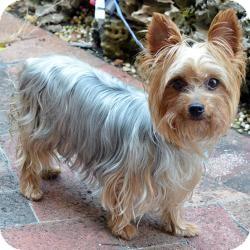 Yorkie, Yorkshire Terrier Dog for adoption in Beechgrove, Tennessee - Prada
