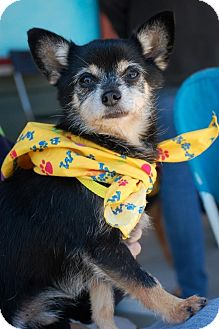 Chihuahua/Terrier (Unknown Type, Small) Mix Dog for adoption in Baton Rouge, Louisiana - Brutus