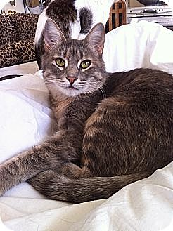 Domestic Shorthair Cat for adoption in Long Beach, California - Cassidy