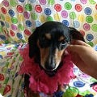 Adopt A Pet :: Holly - OH - Jacobus, PA