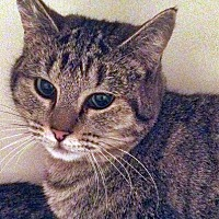 Domestic Shorthair Cat for adoption in Santa Fe, New Mexico - Faith 2