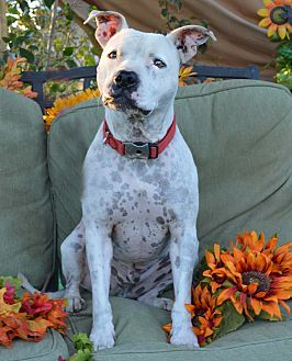 American Staffordshire Terrier Mix Dog for adoption in Toluca Lake, California - Spot