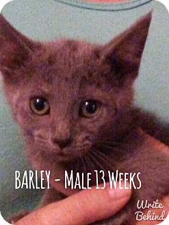 Russian Blue Cat for adoption in Glendale, Arizona - BARLEY