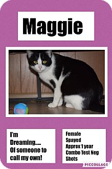 Domestic Shorthair Cat for adoption in CLEVELAND, Ohio - Maggie