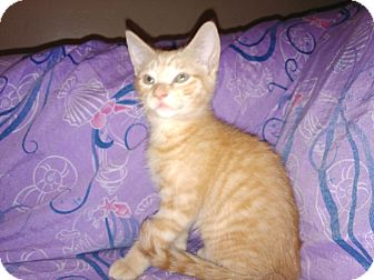 Domestic Shorthair Kitten for adoption in Parkton, North Carolina - Orange Sherbet