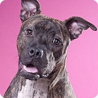Pit Bull Terrier/Greyhound Mix Dog for adoption in Chicago, Illinois - Bella
