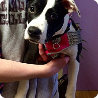 Adopt A Pet :: Leah in CT - Manchester, CT