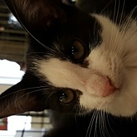 Adopt A Pet :: Oreo - Lyons, IL