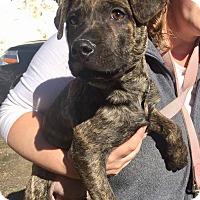 Adopt A Pet :: Wyatt - Berwick, ME