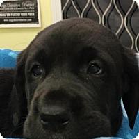 Adopt A Pet :: Big 6 pups - Pompton Lakes, NJ
