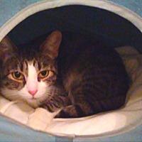 Domestic Shorthair Cat for adoption in New York, New York - Harper