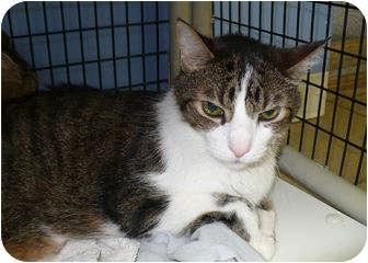 Domestic Shorthair Cat for adoption in Colmar, Pennsylvania - Trio