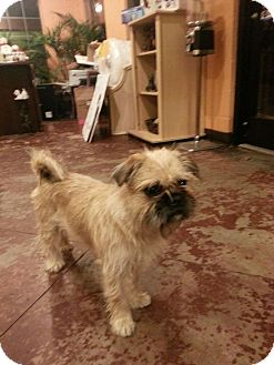 Brussels Griffon Mix Dog for adoption in Brattleboro, Vermont - Lucy Lu