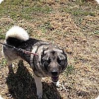 Adopt A Pet :: Kiki - Westminster, CO